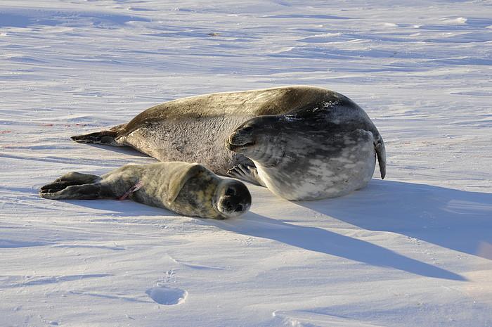 Antarktis Robben